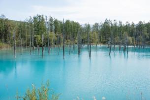 夏の青い池 美瑛町の写真素材 [FYI02920038]