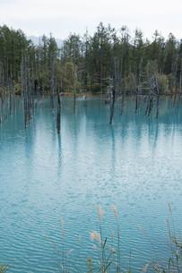 夏の青い池 美瑛町の写真素材 [FYI02920039]