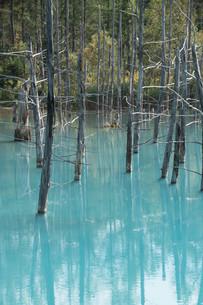 夏の青い池 美瑛町の写真素材 [FYI02920043]