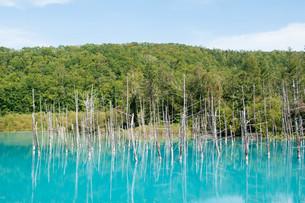 夏の青い池 美瑛町の写真素材 [FYI02920045]