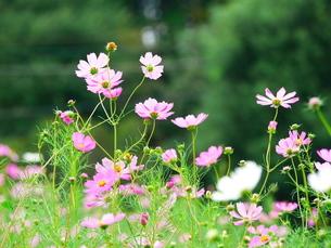 咲き誇るコスモスの写真素材 [FYI02922018]