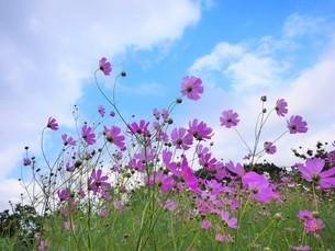 咲き誇るコスモスの写真素材 [FYI02922020]