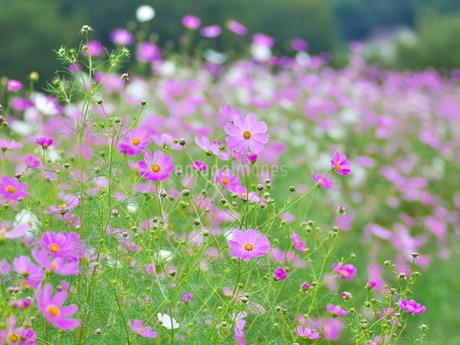 咲き誇るコスモスの写真素材 [FYI02922026]