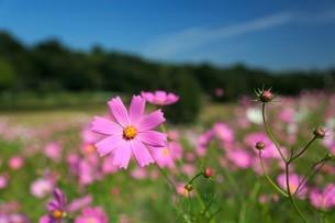 咲き誇るコスモスの写真素材 [FYI02922032]
