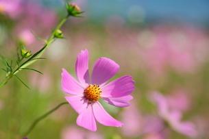 咲き誇るコスモスの写真素材 [FYI02922033]