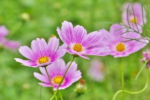 コスモスの花の写真素材 [FYI02922036]