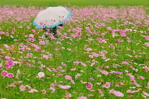コスモス畑と日傘の写真素材 [FYI02922037]