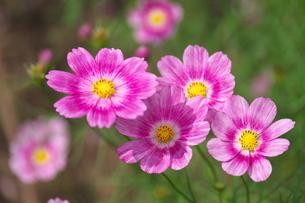咲き揃うコスモスの写真素材 [FYI02922039]