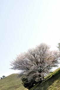 ヤマザクラの写真素材 [FYI02922066]