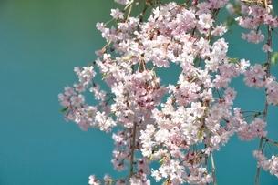 湖畔の枝垂桜の写真素材 [FYI02922076]