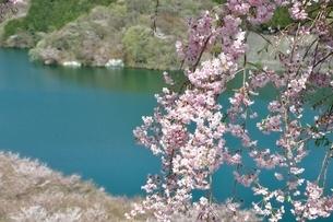 湖畔の枝垂桜の写真素材 [FYI02922080]