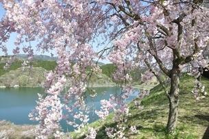湖畔の枝垂桜の写真素材 [FYI02922082]
