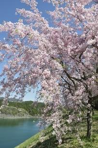 湖畔の枝垂桜の写真素材 [FYI02922088]