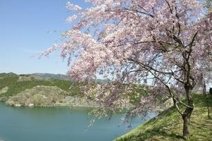 湖畔の枝垂桜の写真素材 [FYI02922092]