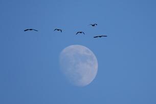 月に向かって飛ぶ野鳥の写真素材 [FYI02922103]