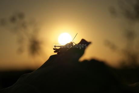 夕陽とバッタの写真素材 [FYI02922105]