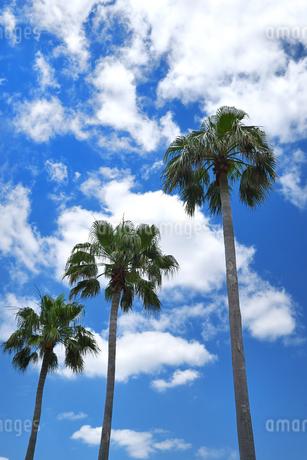 青空背景の椰子の木の写真素材 [FYI02922111]