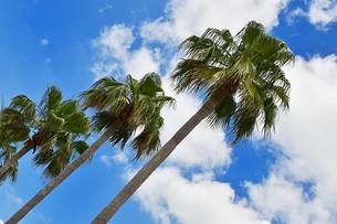 青空背景の椰子の木の写真素材 [FYI02922112]