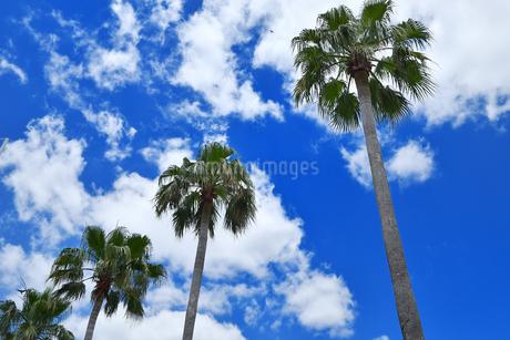 青空背景の椰子の木の写真素材 [FYI02922113]