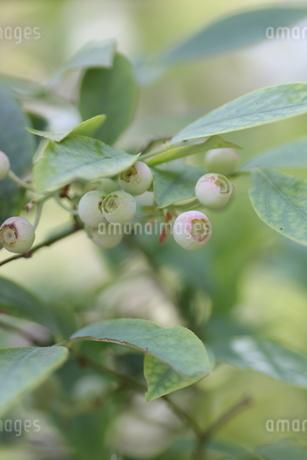 ブルーベリーの栽培の写真素材 [FYI02922120]