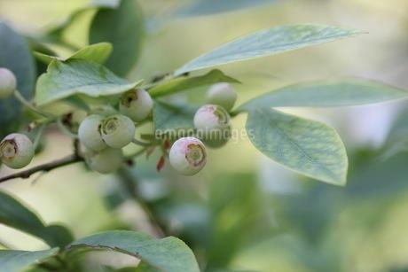 ブルーベリーの栽培の写真素材 [FYI02922122]