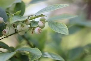 ブルーベリーの栽培の写真素材 [FYI02922123]