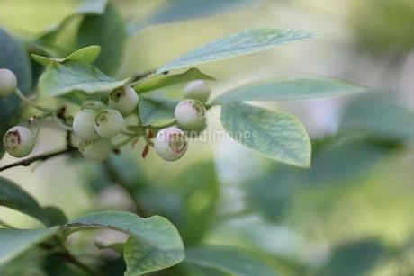 ブルーベリーの栽培の写真素材 [FYI02922124]