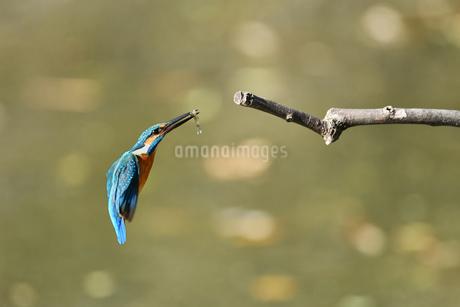 カワセミの捕食の写真素材 [FYI02922126]
