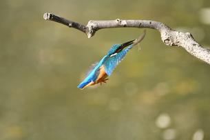 カワセミの捕食の写真素材 [FYI02922129]