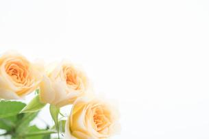 バラの花束の写真素材 [FYI02922165]