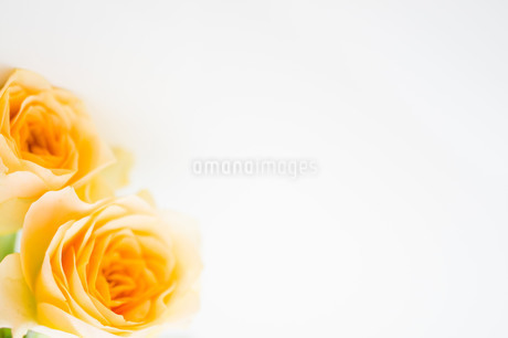 バラの花束の写真素材 [FYI02922166]