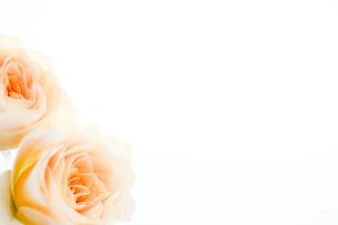 バラの花束の写真素材 [FYI02922167]