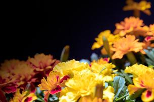 光を浴びるマリーゴールドの花の写真素材 [FYI02922168]