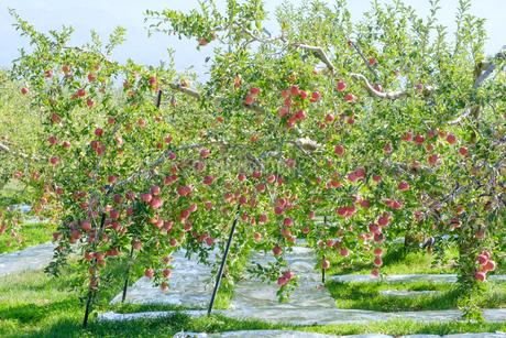 長野県のリンゴ農園の写真素材 [FYI02922227]