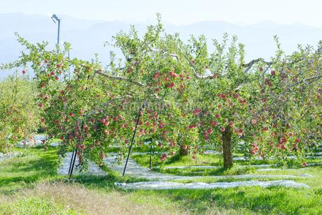 長野県のリンゴ農園の写真素材 [FYI02922229]
