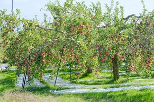長野県のリンゴ農園の写真素材 [FYI02922231]