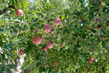 長野県のリンゴ農園の写真素材 [FYI02922233]