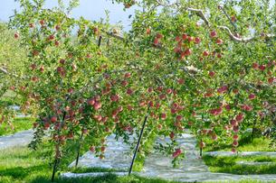 長野県のリンゴ農園の写真素材 [FYI02922234]