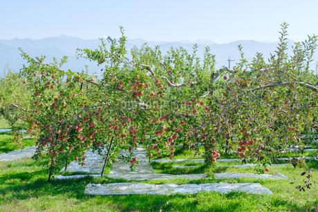 長野県のリンゴ農園の写真素材 [FYI02922236]