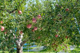 長野県のリンゴ農園の写真素材 [FYI02922238]