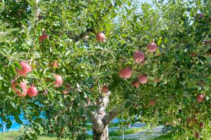 長野県のリンゴ農園の写真素材 [FYI02922239]