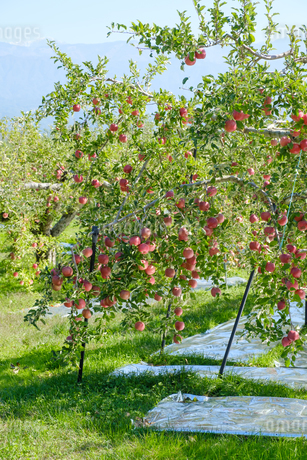 長野県のリンゴ農園の写真素材 [FYI02922240]