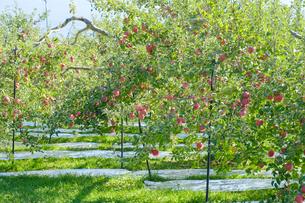 長野県のリンゴ農園の写真素材 [FYI02922241]