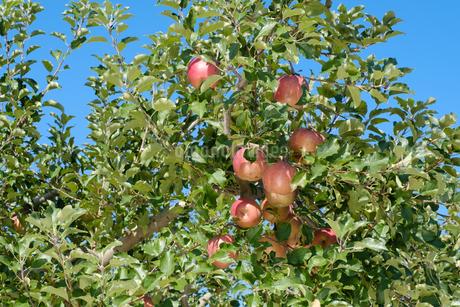 長野県のリンゴ農園の写真素材 [FYI02922264]