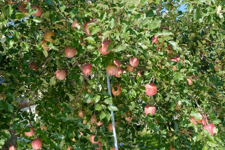 長野県のリンゴ農園の写真素材 [FYI02922265]