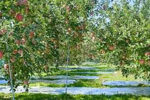 長野県のリンゴ農園の写真素材 [FYI02922267]