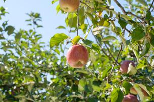 長野県のリンゴ農園の写真素材 [FYI02922269]