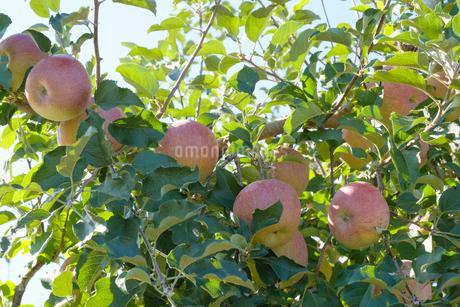 長野県のリンゴ農園の写真素材 [FYI02922271]