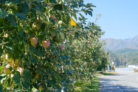 長野県のリンゴ農園の写真素材 [FYI02922272]
