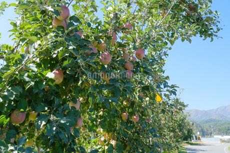 長野県のリンゴ農園の写真素材 [FYI02922274]